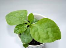 Mała roślina Malabar szpinak zdjęcia royalty free