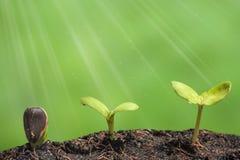 Mała roślina na stosie soja Zdjęcia Stock