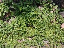Mała roślina z zieleni skałami i liśćmi obraz royalty free