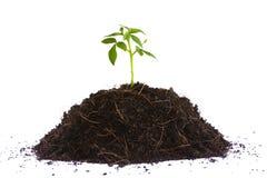 Mała rośliny rozsada Obrazy Stock