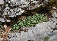 Mała rockowa roślina między dwa kamieniami zdjęcie stock