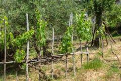 Mała sekcja winorośl zdjęcie stock
