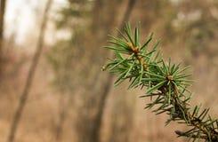 Mała sosny gałąź w lesie Zdjęcie Royalty Free