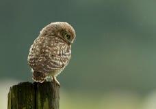 Mała sowa (Athene noctua) fotografia stock