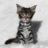Mała szara Maine coon figlarka na białym tle Zdjęcia Royalty Free