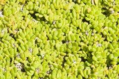 Mała tłustoszowata zielonych rośliien pokrywy powierzchnia, tło tekstura makro-, selekcyjna ostrość, płytki DOF Zdjęcia Stock