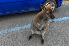 Mała wallaby pozycja na parking, Kołysankowy halny park narodowy, Tasmania zdjęcia royalty free