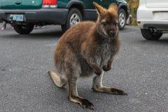 Mała wallaby pozycja na parking, Kołysankowy halny park narodowy, Tasmania obrazy royalty free