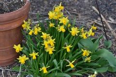 mała wiązka żółci daffodils Obrazy Royalty Free