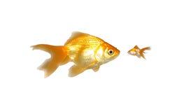 mała wielka goldfishes władza Zdjęcie Stock