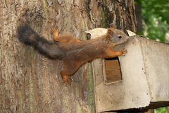 mała wiewiórka Obrazy Royalty Free