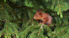 Mała wiewiórka chował wśród gałąź drzewo Obrazy Stock