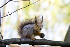 Mała wiewiórka z dokrętką fotografia stock