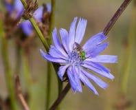 Mała zieleń hoverfly Zdjęcia Royalty Free
