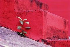 Mała zielona świrzepy roślina przy czerwonymi schodkami Fotografia Royalty Free