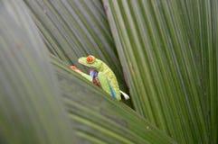 Mała zielona żaba siedzi na liściu w dżungli fotografia stock