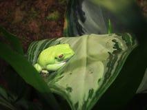 Mała zielona drzewna żaba pn liść Zdjęcia Stock