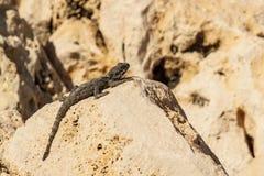 Mała zielona jaszczurka na kolor żółty skale w pustyni Obrazy Royalty Free