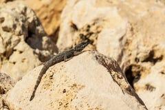 Mała zielona jaszczurka na kolor żółty skale w pustyni Zdjęcia Royalty Free