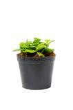 Mała zielona roślina w czarnym garnku Fotografia Stock