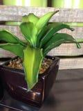 Mała zielona tłustoszowata roślina Zdjęcie Royalty Free