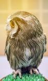 Mała zwierzę domowe sowa z dużymi round oczami Fotografia Stock