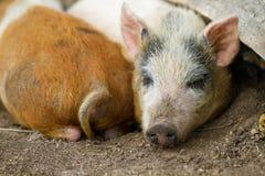 małe świnie Zdjęcie Royalty Free