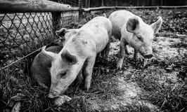 Małe świnie na gospodarstwie rolnym zdjęcia stock