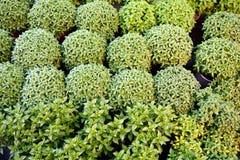 Małe basil rośliny Zdjęcia Stock