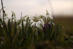 Małe białe śnieżyczki z purpurowym kwiatem w centrum obrazy royalty free