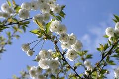małe białe kwiaty drzewa Obraz Royalty Free