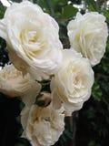 Małe Białe róże Zdjęcie Stock