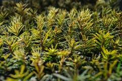 Małe conifer rozsady zdjęcia royalty free