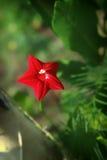 Małe czerwone ranek chwały przeciw zielonemu tłu Zdjęcia Stock