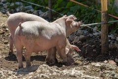 Małe Domowe świnie Gaszące ich pragnienie od drymby w gospodarstwie rolnym Obraz Stock