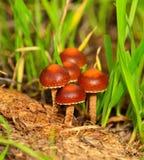 Małe dzikie pieczarki urodzone wśród traw Fotografia Royalty Free
