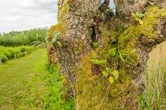 Małe dzikie rośliny r w dziury sof wierzbowego drzewa Fotografia Stock