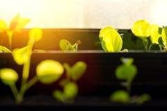 Małe flance w brown garnkach, r w jaskrawych promieniach wiosny słońce Pojęcie ogrodnictwo, środowiskowy kolegowanie, f fotografia royalty free