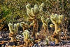 małe kaktusowe rośliny Obraz Royalty Free