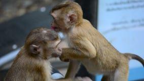 Małe małpy są sztuką z each inny zdjęcie wideo
