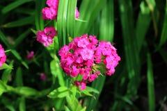Małe menchie uprawiają ogródek goździki w greenery dorośnięciu w ogródzie Zdjęcie Stock