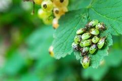 Małe osłoien pluskwy, także znać jako smród pluskwa na roślinie Fotografia Stock