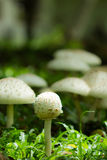 Małe pieczarki w lesie Fotografia Royalty Free