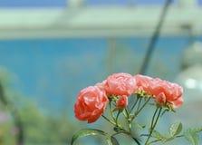 Małe Róże Fotografia Stock