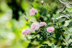 małe różowe róże Fotografia Royalty Free