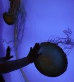 Małe ręki Bada Jellyfish przy akwarium Zdjęcia Royalty Free