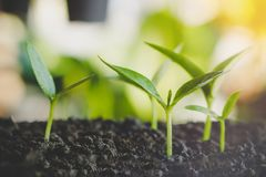 Małe rośliny r na ziemi, nowy życia pojęcie z światła słonecznego tłem Fotografia Stock