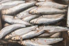 Małe solone rybie sardele w marynacie pod pokrywą fotografia royalty free