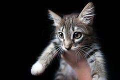 Małe szarość kocą się na ręce na czarnym tle, Fotografia Stock