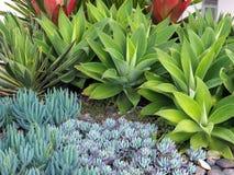 Małe Tłustoszowate kaktus rośliny w Rockowym ogródzie Zdjęcie Stock